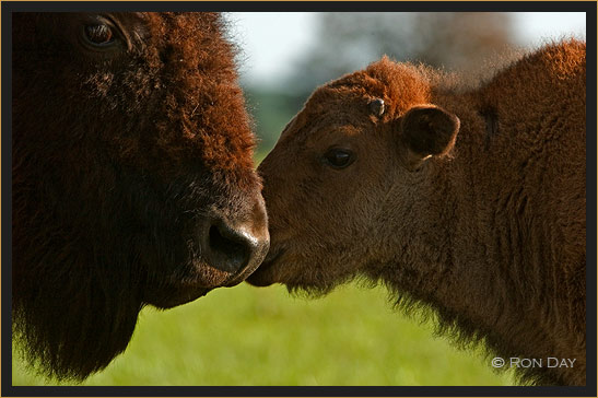 Cow and Calf Touching Noses